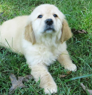 Creekwood Acres Golden Retriever Puppies - Charlotte, NC